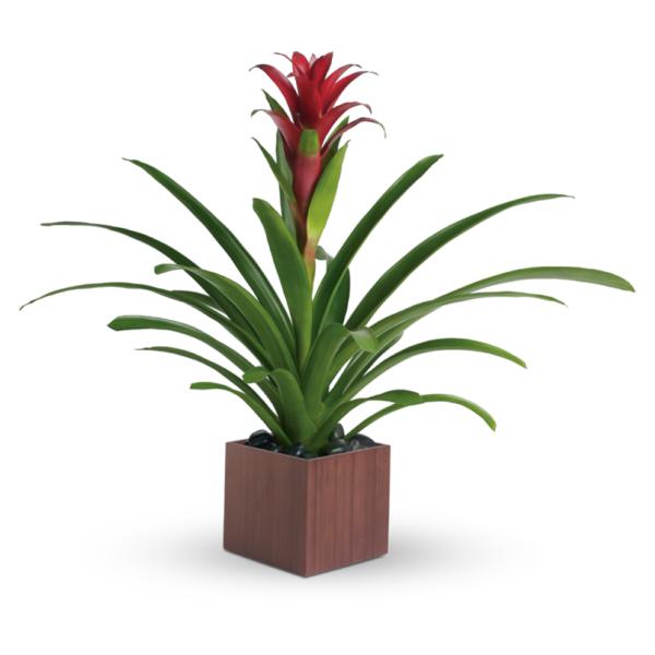 T100 1A 600x600 - Teleflora's Bromeliad Beauty